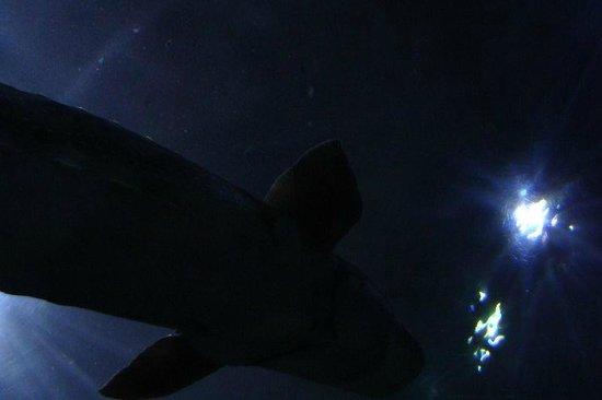 Big Shark In The Overhead Tank Picture Of Aquarium Of The Bay San Francisco Tripadvisor