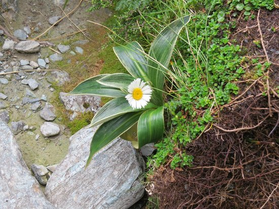 Routeburn Track Hiking Tour - New Zealand Breeze: Mountain daisy - bigger than it looks