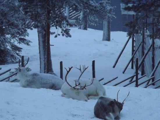 Hotel K5 Levi: Reindeer sleeping - taken from our room