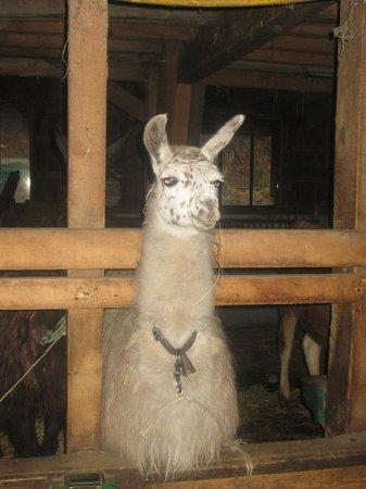 Ferme du Bergenbach: Lama