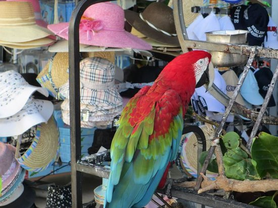 The Island Hotel: Parrot at the supermarket