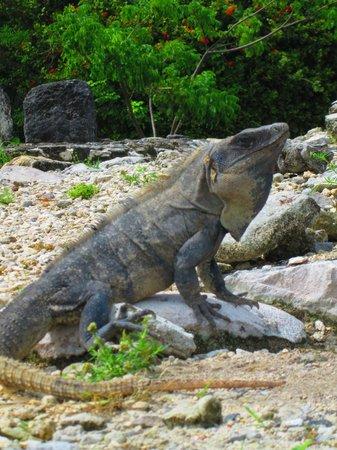 Zona arqueológica El Rey: Many Iguanas