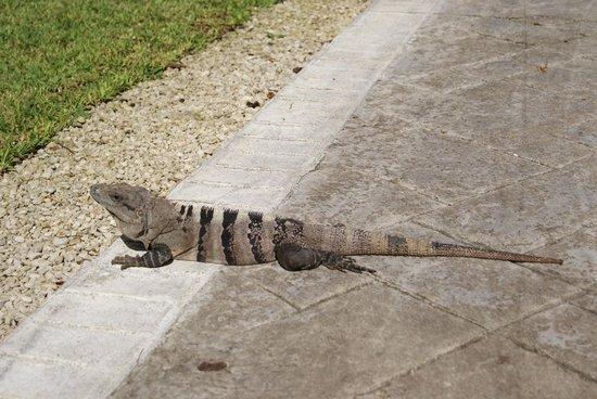 Grand Bahia Principe Tulum : Iguanas
