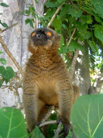 Le Jardin Maore: Un maki (mangeur de bananes !)