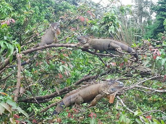 Pacific Trade Winds Day Tours: Iguanas