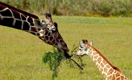 Cape May County Park & Zoo: Baby giraffe Faye born September 2, 2013 and mom.