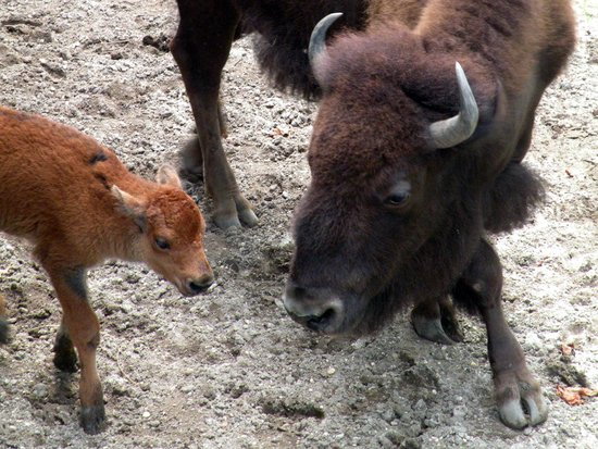 Cape May County Park & Zoo: Baby bison with mom, born August 29, 2013.