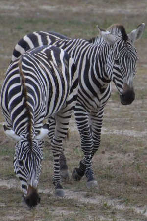 Cape May County Park & Zoo: Zebras in the savanna