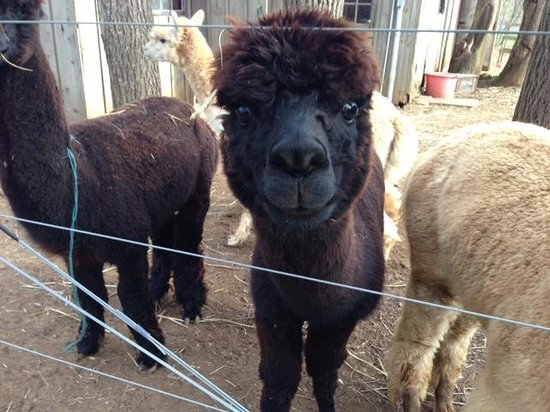 Chimney Hill Estate & Ol' Barn Inn: Baby Alpaca
