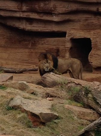 Riverbanks Zoo and Botanical Garden: Lion at Riverbanks Zoo