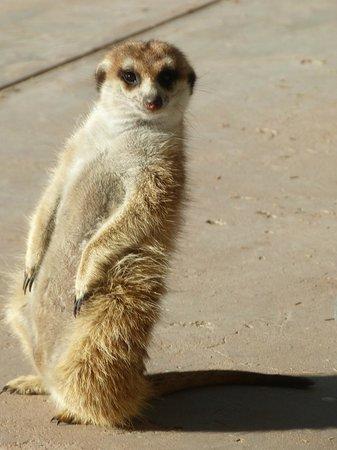 "Kalahari Trails: ""Kiri"" the meerkat"
