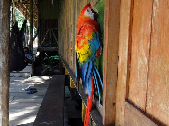 Otorongo Expeditions Jungle Lodge : Parrot again