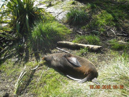 Ohau Point Seal Colony: più vicinon di così