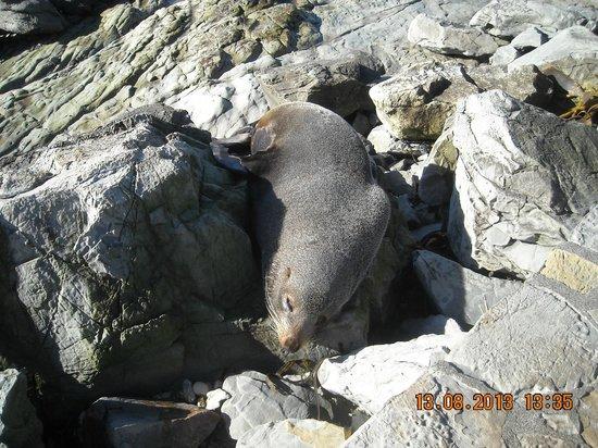 Colonia de focas: leone marino femmina