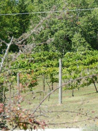 Simon Creek Vineyard & Winery : Simon Creek vines