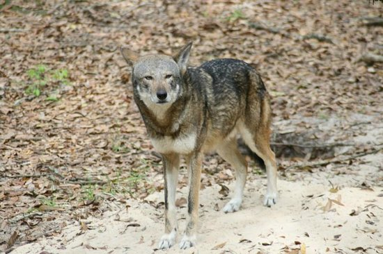 Tallahassee Museum: Red Wolf