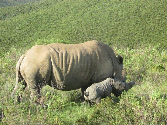 Botlierskop Private Game Reserve: 4 day old rhino lovely Nov 25 2013