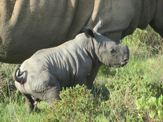 Botlierskop Private Game Reserve: Piglet ! Rhino 4 days old Nov 25 2013