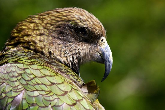 "St Arnaud House B&B : NZ Alpine Parrot ""Kea'"