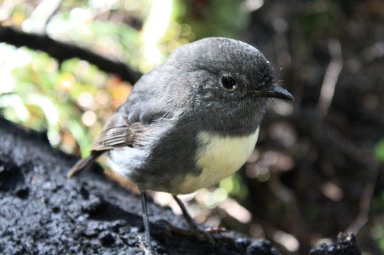 St Arnaud House B&B : South Island Robin