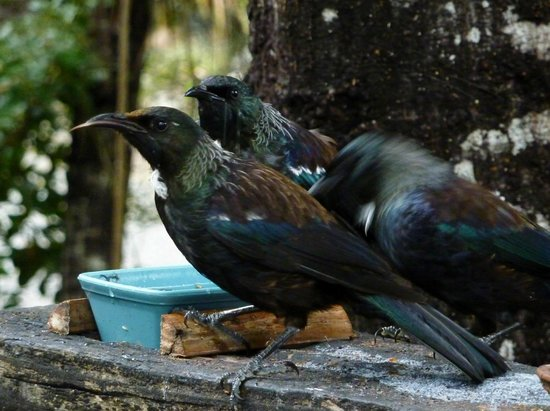 St Arnaud House B&B: Tui at feeder St Arnaud house