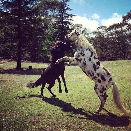 Fairmont Resort Blue Mountains - MGallery Collection: The new ponies - Diego and Boots