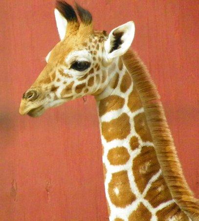 The Gulf Breeze ZOO: Baby giraffe at Gulf Breeze Zoo