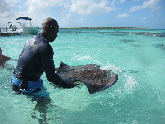 Professional staff handling stingray - Picture of Stingray ...
