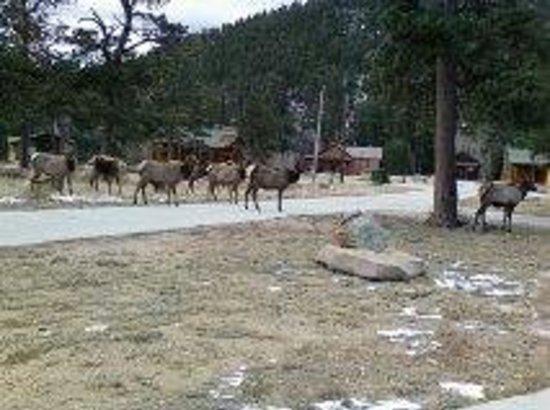 Rockmount Cottages & Cabins: Elk roam the property
