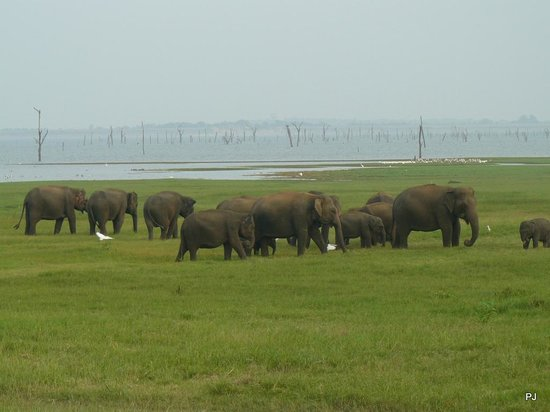 Kaudulla National Park : Part of the herd