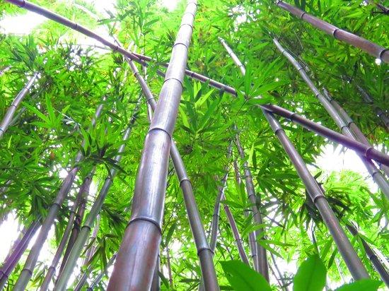 Manoa Falls: Bamboo