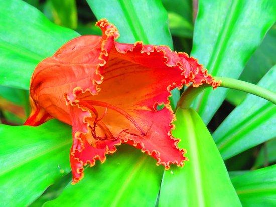 Manoa Falls: African Tulip