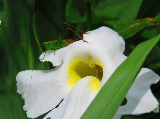 Manoa Falls: Grasshopper