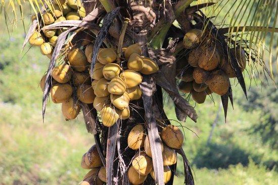 Igloo Nature Resort : coconut plant seen form balcony of room