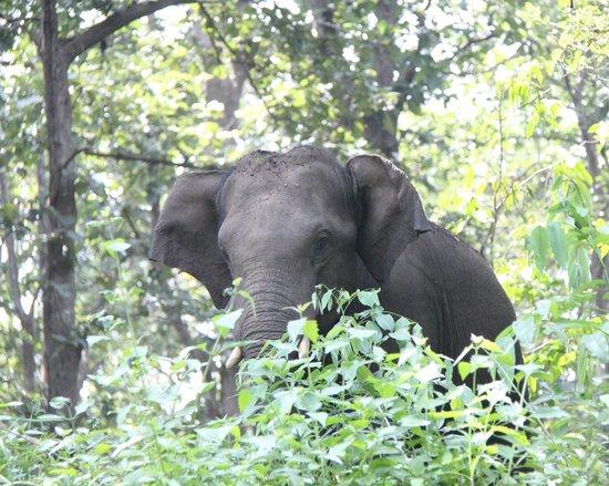 Parambikulam Wildlife Sanctuary: A lone elephant grazing