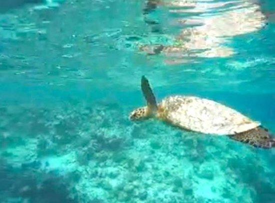 Vakarufalhi Island Resort : Sea turtle