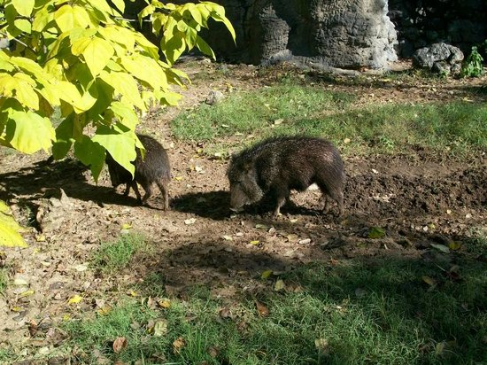 Dickerson Park Zoo Boars