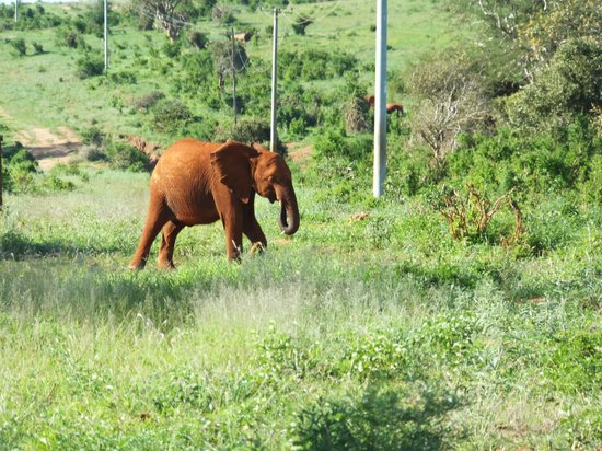 Voi Wildlife Lodge: un elefante appena fuori dal lodge...