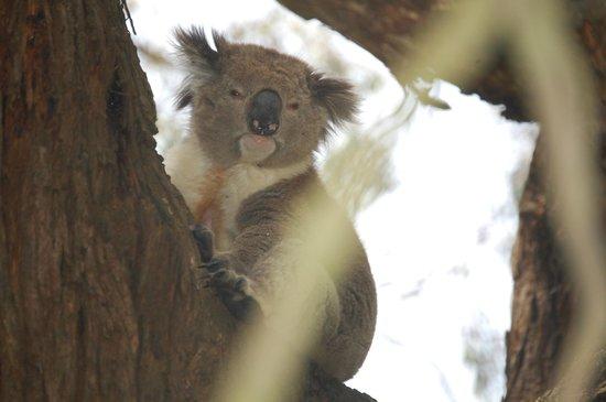 Phillip Island Nature Parks - Koala Conservation Centre: Hello there