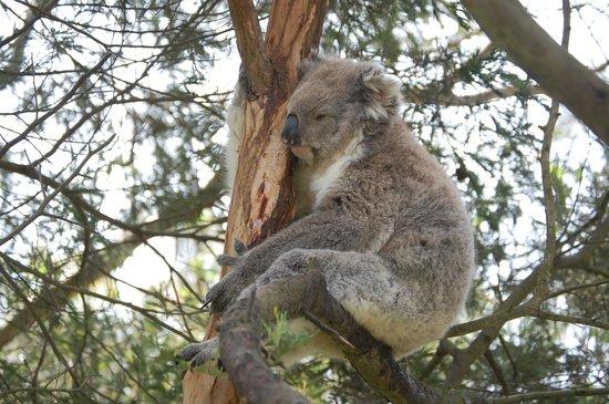 Phillip Island Nature Parks - Koala Conservation Centre: Just chillin