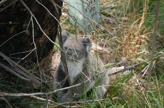 Phillip Island Nature Parks - Koala Conservation Centre: Down on the ground