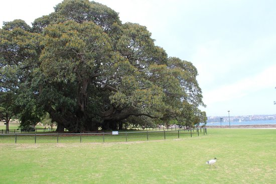 Royal Botanic Gardens: Barricaded Tree to protect the Visitors