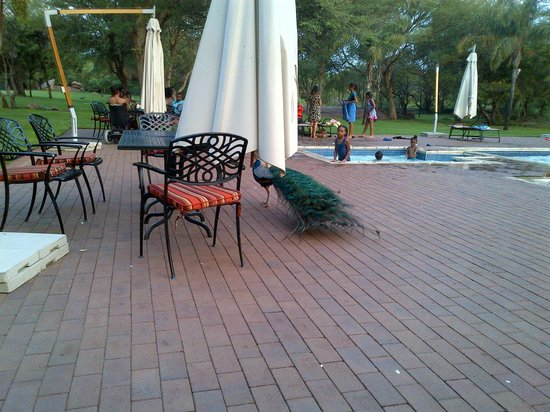 Peermont Walmont at The Grand Palm : Pool terrace with one of the resident peacocks. Lovely place for a sundowner.