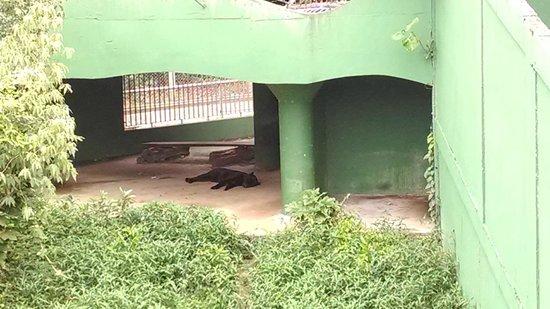 CIGS Zoo: Onça pintada preta
