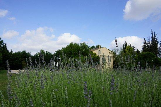 Côté Provence : Beginning of Lavender season