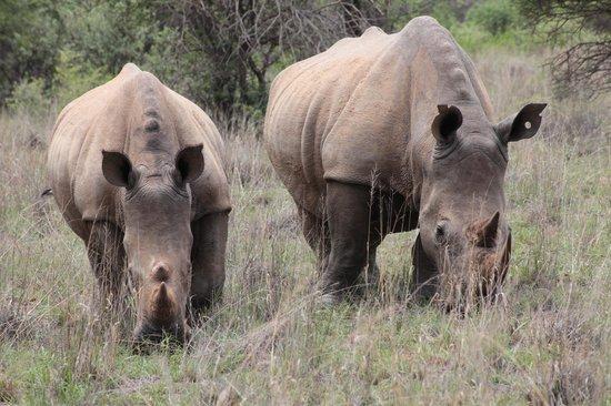 Rhinos in Mokolodi Nature Reserve