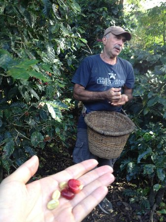 Cafe Monteverde Coffee Tour: Victor explains coffee harvesting