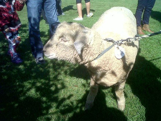 Billings Farm and Museum: Annie the Sheep!