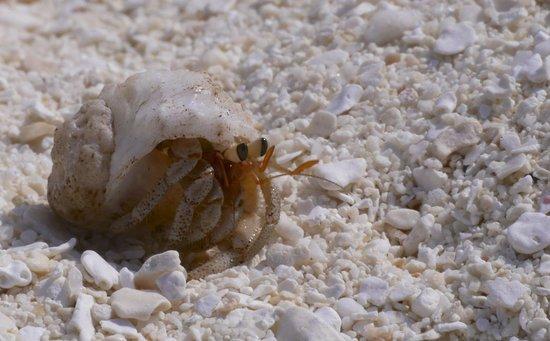 Angsana Ihuru : hermit crab