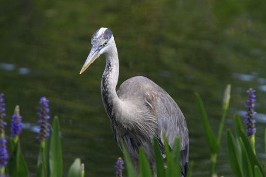 Mounts Botanical Garden: blue heron in a pond